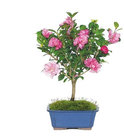 14'' Camellia Bonsai Tree, Live