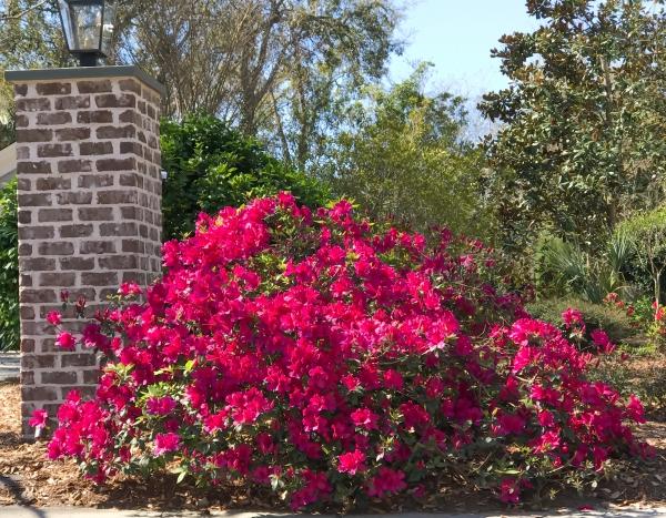 Azaleas in Charleston